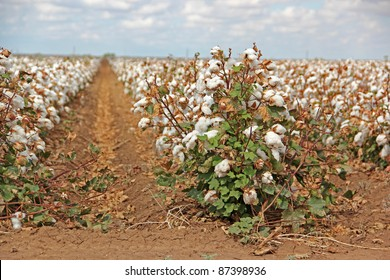 Rows of Cotton Crops on Farm in Texas
