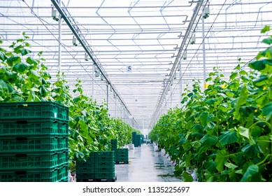 Rows of cucumbers grown in a greenhouse. Beautiful background