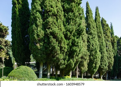 Rows of Cupressus sempervirens, Mediterranean cypress or Italian cypress, pencil pine. Nature concept for design. Aivazovsky park in Partenit, Crimea