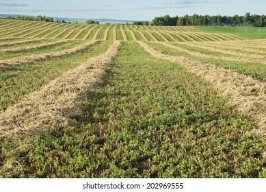 Rows of cut alfalfa cure in a hay field.