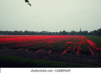 Rows of cut tulips with heads chopped off against pink blooming flowers in the distance. Bulb farming process in the Netherlands.