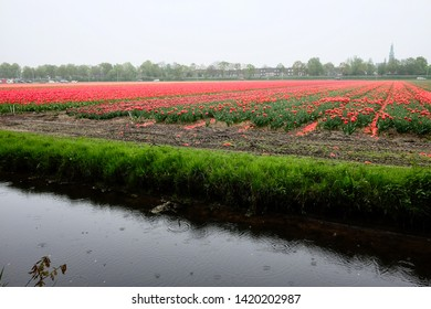 Rows of cut tulips with heads chopped off against red blooming flowers in the distance. Bulb farming process in the Netherlands.