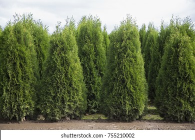 Rows of Cypress Trees, Farm, Late Summer, Daytime