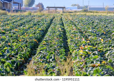 Rows of dark green and ripe Collard Greens ready to be harvested during the autumn months.