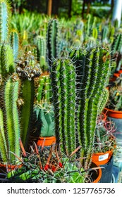 Rows of different cacti succulent plants in buckets on sale in garden shop, homeplant and decovative plant for gardens and parks