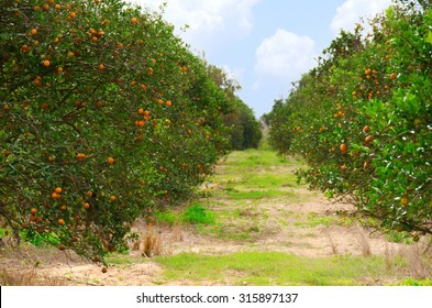 Rows of Florida orange trees in an orange grove on a beautiful fall morning showing the trees full of ripe juicy oranges,