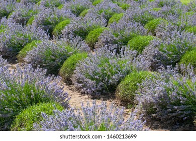 Rows of flowering lavender bushes. Floriculture, lavender farm.