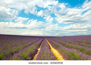 Rows of flowers in the lavender fields of the French Provence near Valensole