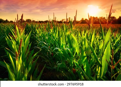 Rows of fresh corn plants on a field with beautiful warm sunset light and vibrant colors