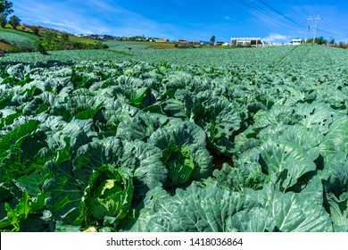 rows of fresh green Cabbage farm at Phu Thap Buek,Phetchabun province of Thailand.