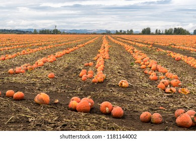 Rows of Fresh Ripe Pumpkins in a Field and Sky Ready for Harvesting.