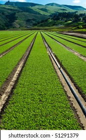 Rows of freshly planted spinach in the Parajo Valley of California