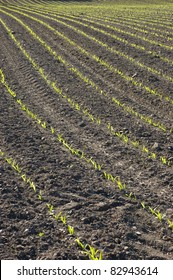 Rows of freshly planted spring corn growing in a ploughed field