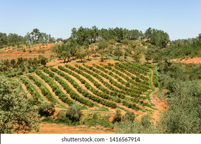 Rows of fruit trees in the Algarve, Portugal.