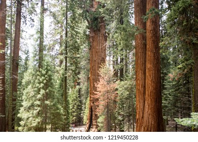 Rows of Giant Sequoia trees in forest in Sequoia National Park California