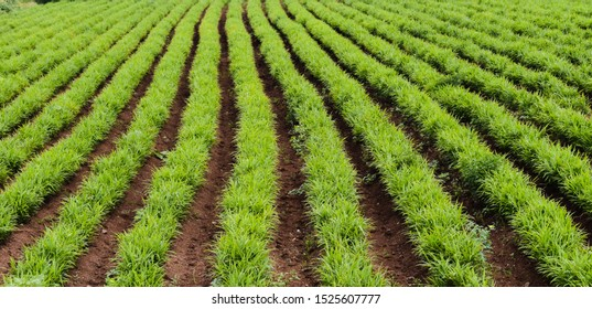 Rows of Ginger crop. planting at agriculture field, India.