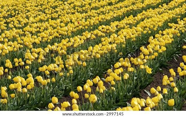 Rows of Golden Tulips