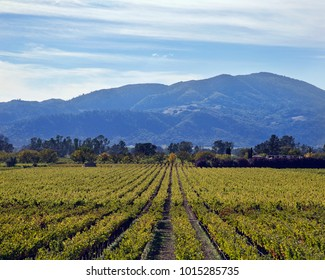 rows of grape vines in a California winery