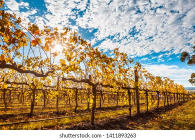 Rows of grape vines with golden leafs and sun flare in autumn in Australia