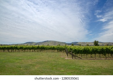 Rows of grape vines growing in Waipara, New Zealand