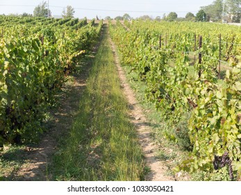 Rows of grape vines at harvest time