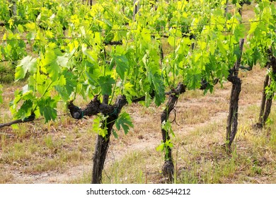 Rows of grape vines near Montalcino, Val d'Orcia, Tuscany, Italy. Montalcino is famous for its Brunello di Montalcino wine.