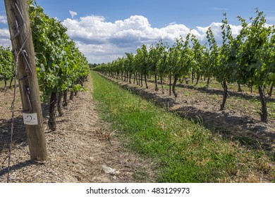 Rows of grape vines in the Niagara wine region.
