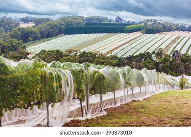 Rows of grape vines protected with bird netting. Beautiful countryside landscape.