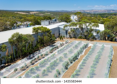 Rows of grape vines protected by bird netting with wine factory and tanks in McLaren Vale, South Australia