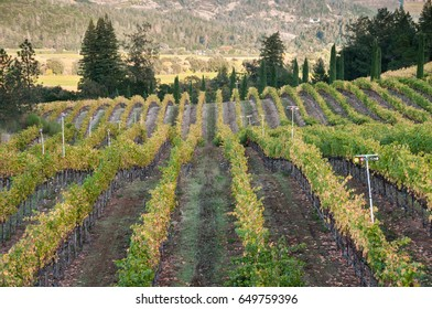 Rows of grape vines turn yellow in Calistoga in the fall. Horizontal