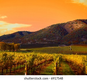 Rows of Grape Vines in Vineyard at Sunset