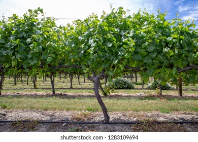 Rows of grape vines at a winery in Waipara, New Zealand