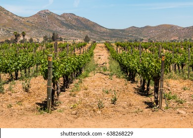 Rows of grapes growing in Ensenada in Baja California, with a mountain range in the background.