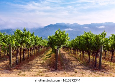 Rows of grapes growing at a vineyard in Napa Valley, California - Shutterstock ID 1615292344