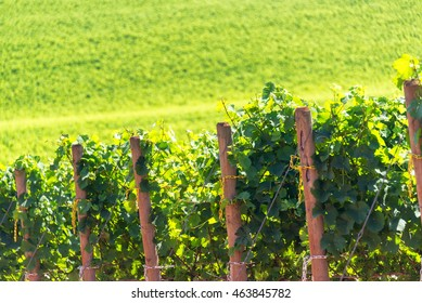 Rows of grapes in Oregon wine country need Dundee