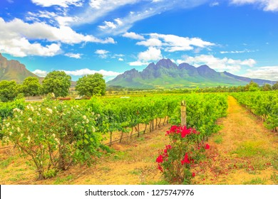 Rows of grapes in picturesque Stellenbosch, near Cape Town, wine region with Thelema Mountain on backdrop. Stellenbosch Wine Routes are one of most popular attractions of South Africa. Summer season.