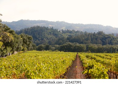 Rows of grapes in a vineyard in St. Helena, California.