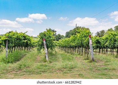 Rows of grapes in vineyard in Texas hill country