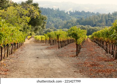 Rows of grapevines in a Napa Valley, California vineyard