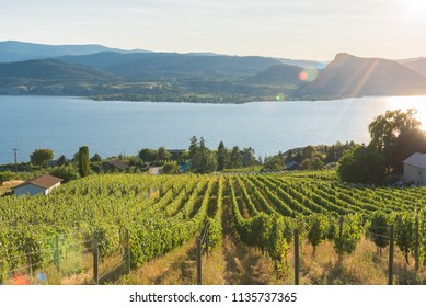 Rows of grapevines on hillside vineyard with lake and mountains in background and setting sun