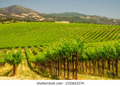 Rows of grapevines on posts in large vineyard in Sonoma Valley, northern California, USA, on a sunny afternoon in spring, for agricultural and regional motifs