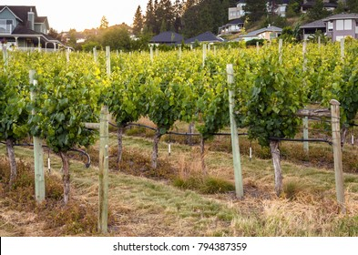 Rows of Grapevines at Sunset. Some Buildings are Visible in Background. Kelowna, BC, Canada.