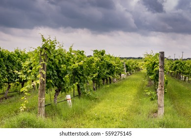 Rows of grapevines in Texas Hill Country vineyard with cloudy spring sky