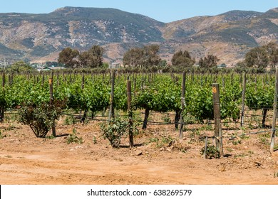 Rows of grapevines at a vineyard in Ensenada, Mexico at the foothills of a mountain range.