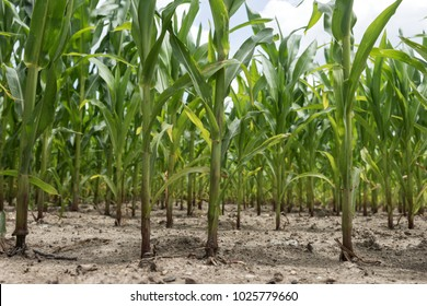 Rows of green corn (maize) growing in the field
