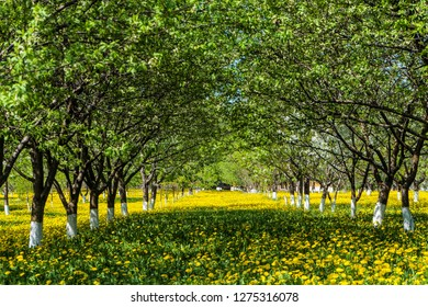 Rows of green gardening blooming fruit trees on a green blossoming lawn of yellow dandelions. Arch alley at spring.
