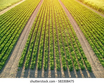 Rows of green soybean