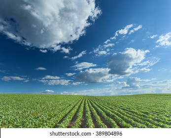 Rows of green soybeans against the blue sky with beautiful clouds. Soybean fields in summer season.