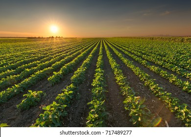 Rows of green soybeans against the setting sun. Soy bean fields in summer season at sunset.