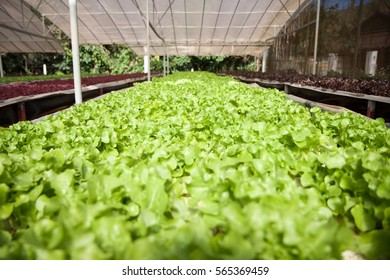 Rows of green vegetables